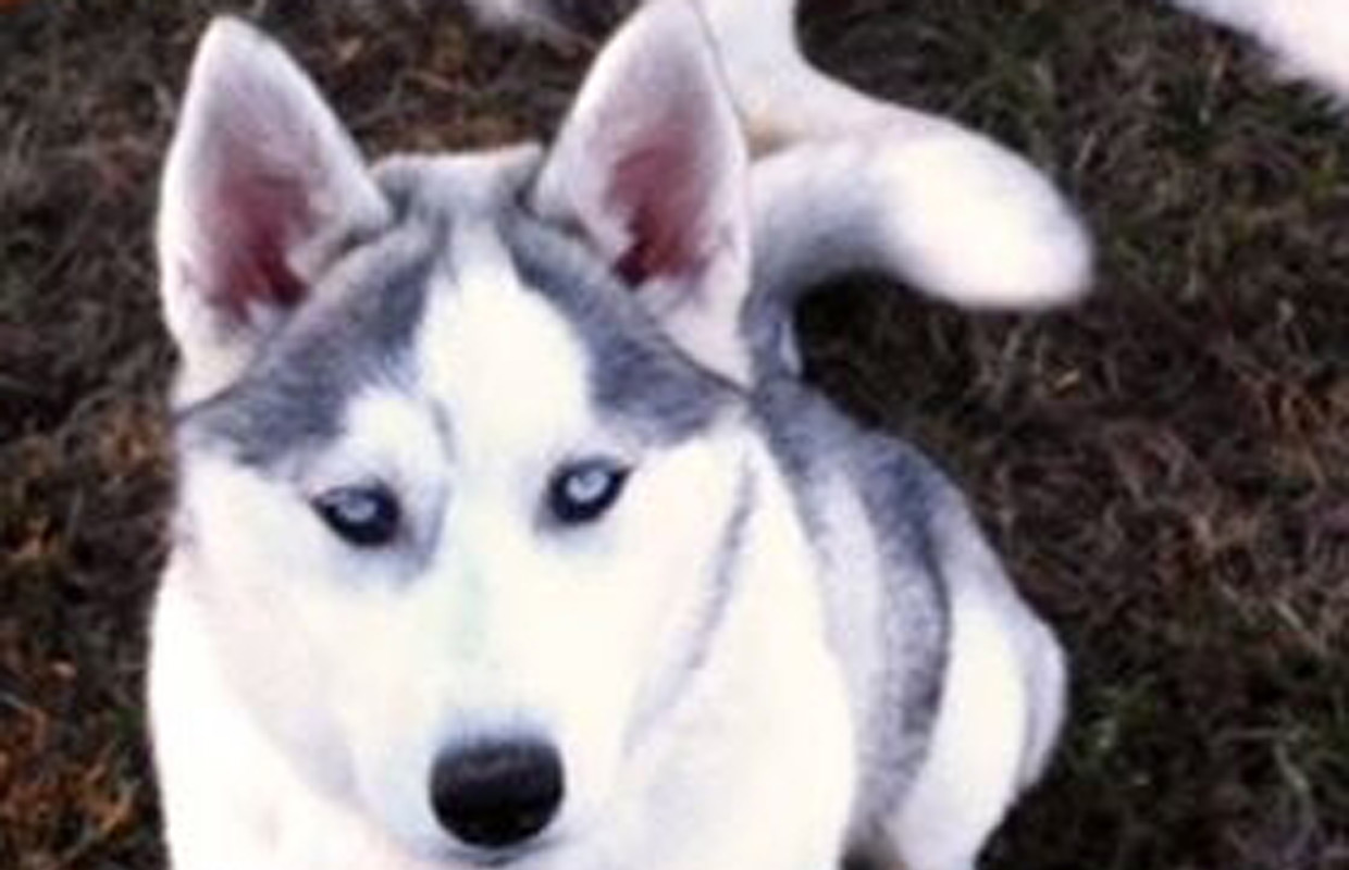 WordPress-FeatureImage-huskies-mishka